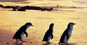 Natura australiana: Phillip Island e la Penguin Parade