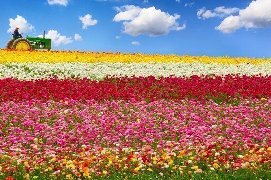 california-fiori-campi