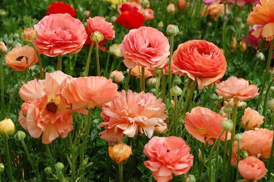 california-fiori