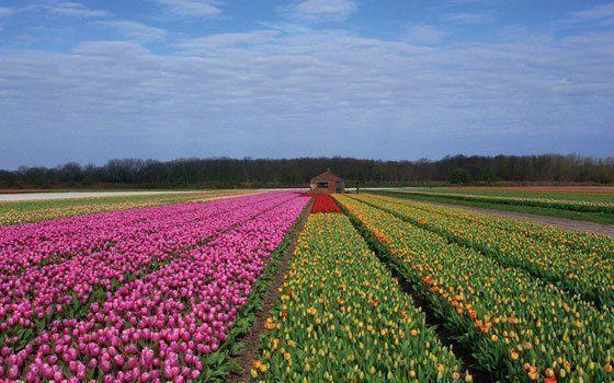 california-flower-field