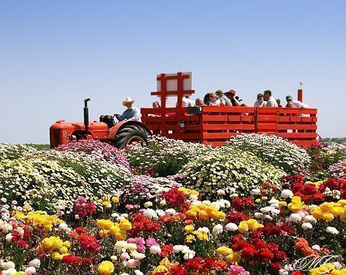california-flowerfield