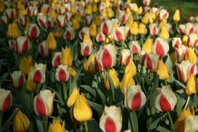 tulipanomania
