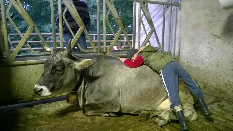 mucca-trentino
