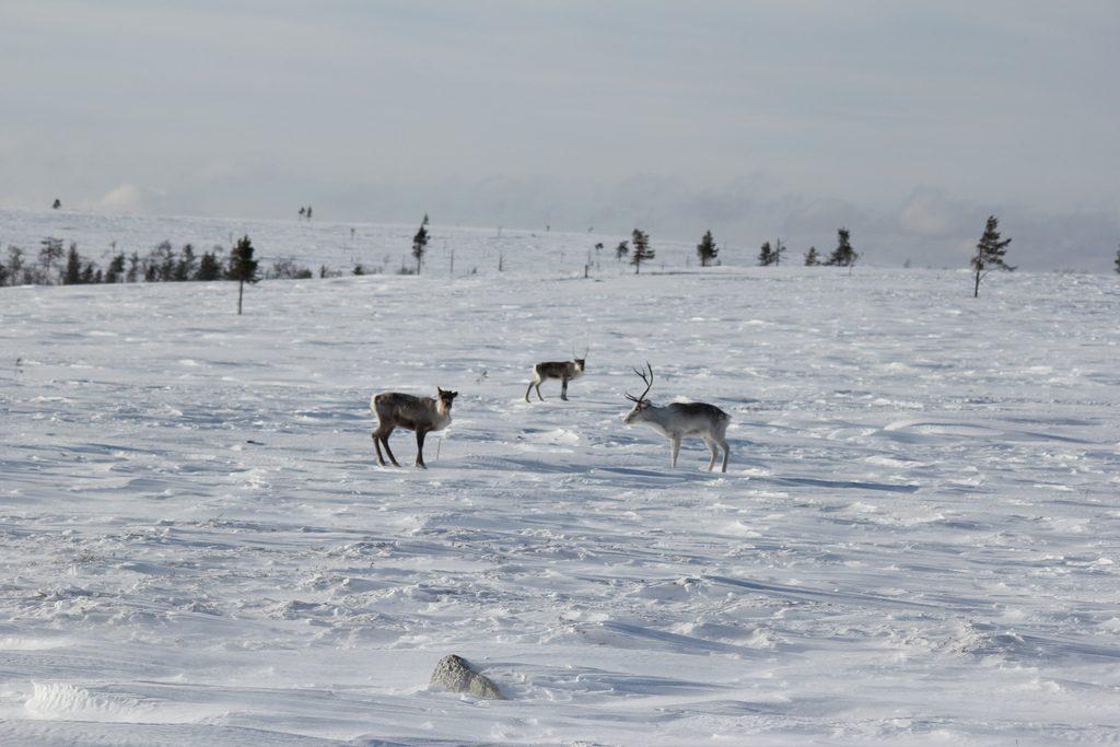 finlandia-renne-selvatiche