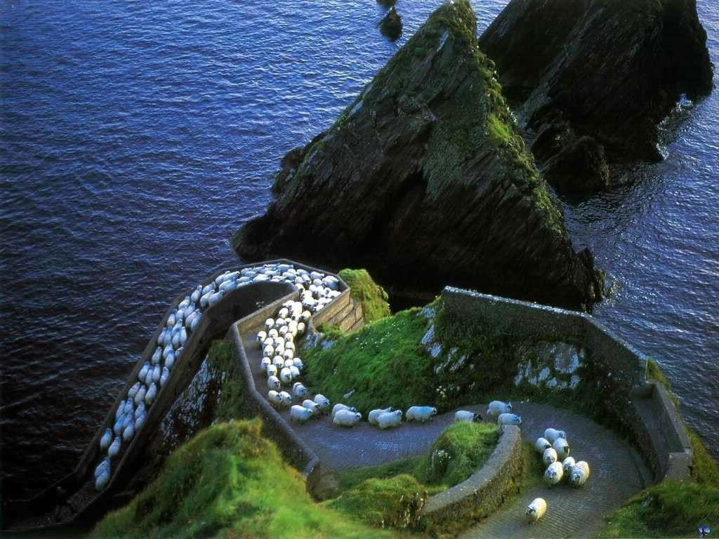 irlanda-dingle-pecore
