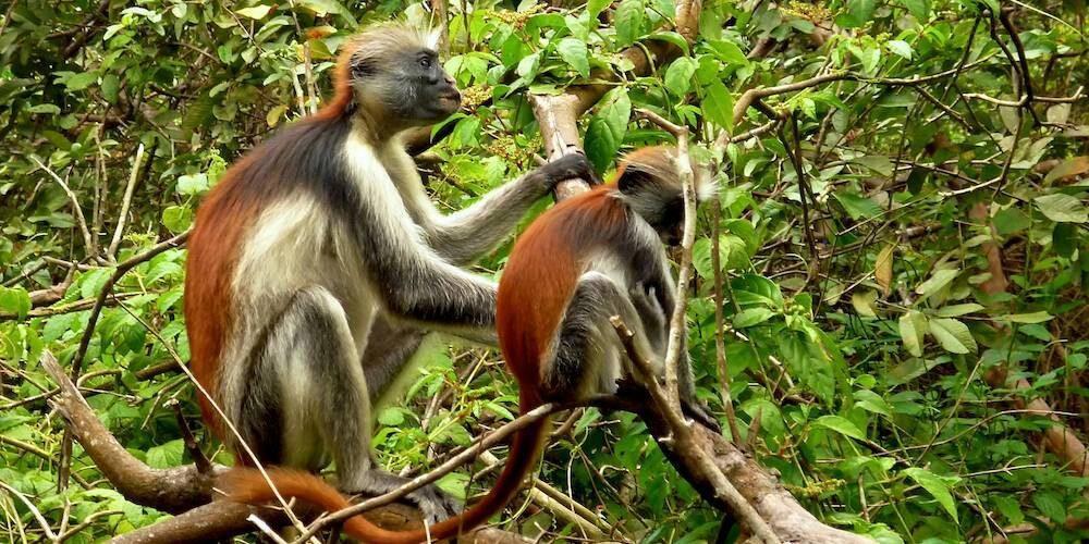 zanzibar-Jozani forest