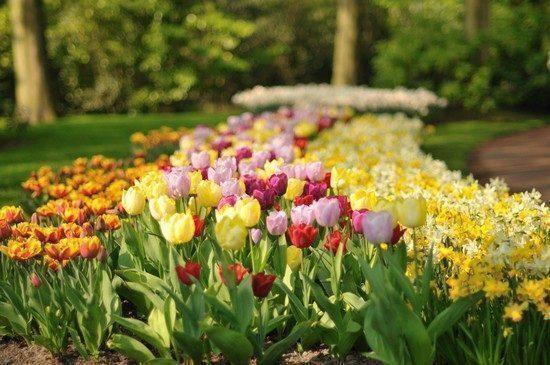 Keukenhof-tulipani