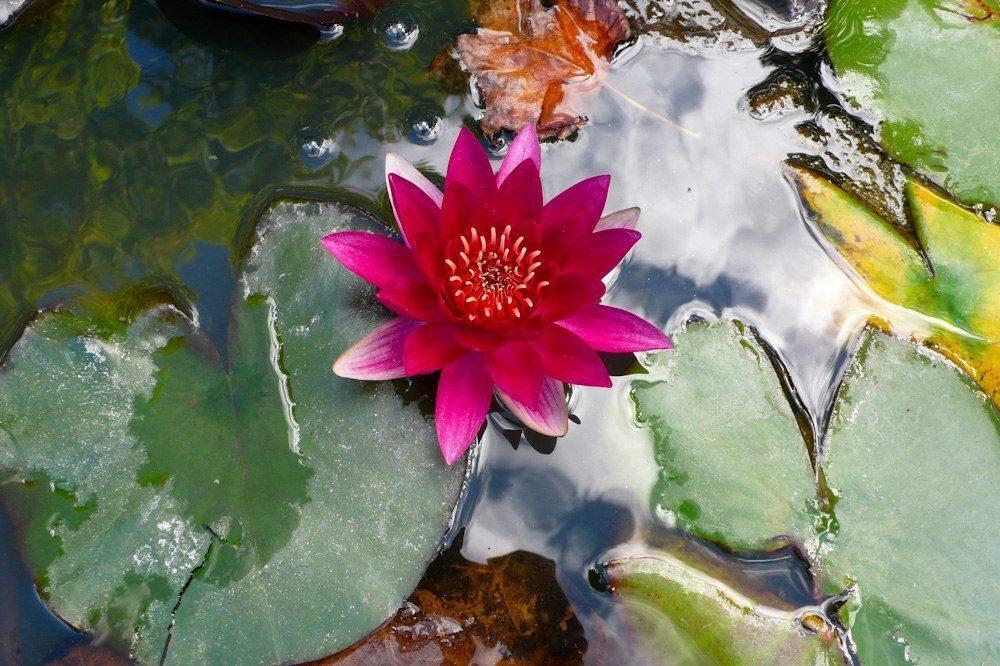 azzorre-fiore