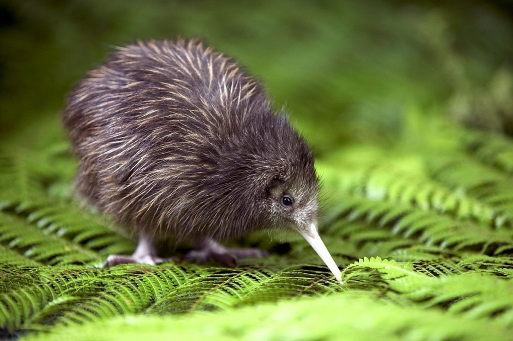 nuova-zelanda-kiwi