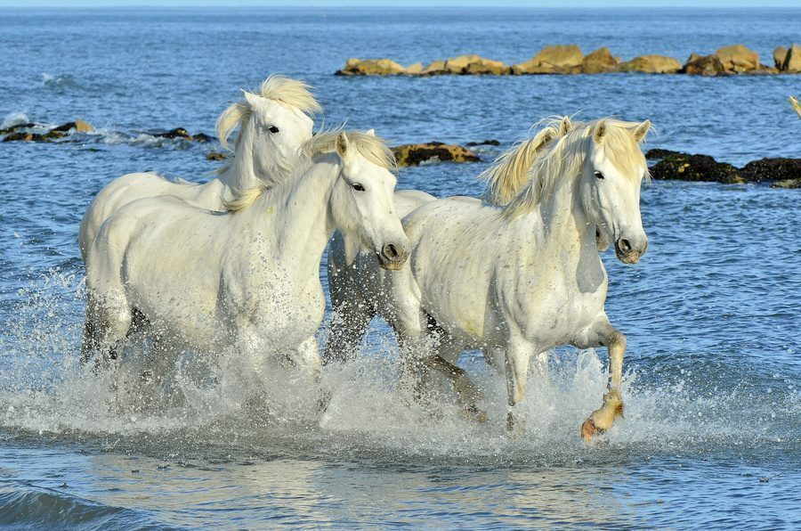 White horses of Camargue running through water. France