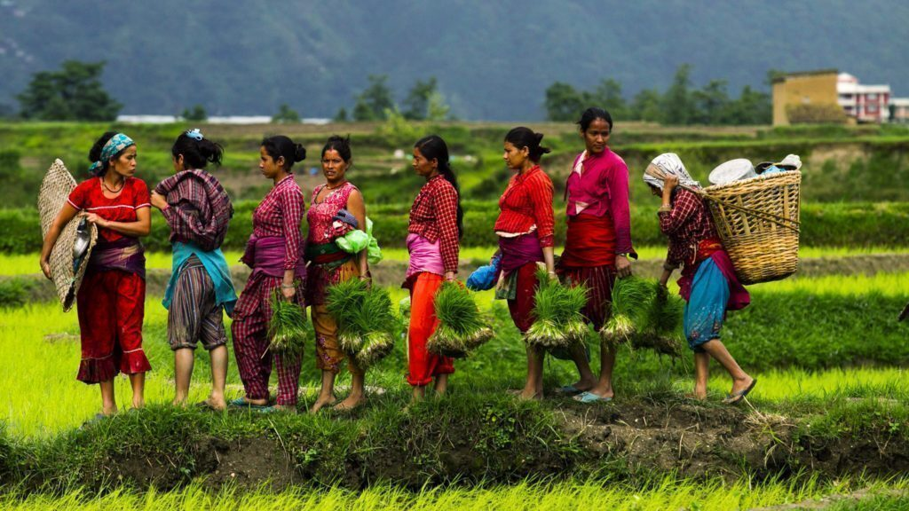 epa03760821 A group of Nepalese farmers return home carrying their belongings after planting rice in a field at the beginning of the monsoon season in Jitpur village, on the outskirts of capital Kathmandu, Nepal, 26 June 2013. Nepal will be celebrating National Paddy Day on 29 June 2013. On this day, known as Asar Pandra, farmers begin the annual rice planting season and mark the day with various festivities such as preparing rice meals with muddy water, mud being a symbol for a prosperous season. The agricultural sector contributes about 60 per cent to Nepal's gross domestic product. EPA/NARENDRA SHRESTHA